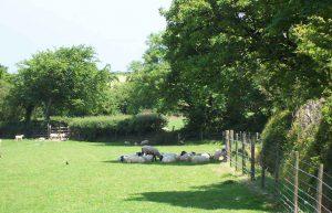 Sheep seeking shade in Meadow at Meadowview Luxury Cottage Cornwall