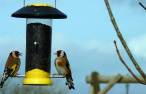 Gold-Finches-eating-at-Meadowview-Cottageluxury holiday accommodation in Cornwall