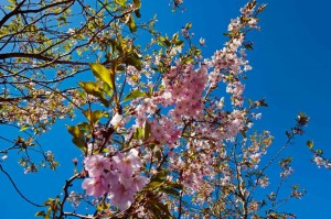 Meadowview-Cottage-Cherry-Blossom-in-Spring-luxury cottage Cornwall Cornwall Self Catering Luxury