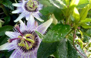 Passion-Flower-at-our-luxury-cottage-Cornwall Cornwall Self Catering Luxury