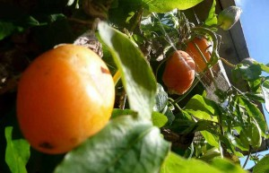 Passion-Fruit-at-luxury-cottage-Cornwall luxury holiday accommodation in Cornwall
