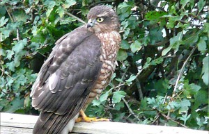 Sparrow-Hawk-ed luxury holiday accommodation in Cornwall