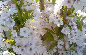 Spring blooms luxury cottage Cornwall Cornwall Self Catering Luxury